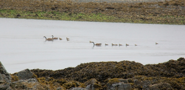 Families of Canadian Geese were all around Pipers.