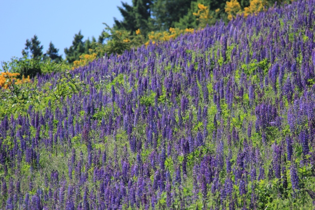 Amazing field of Lupines - just below the bypass - seen from the third street walkway!