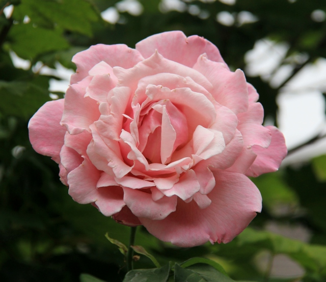 In full Bloom - a perfect Rose!