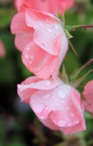 Softened and pulled down by the falling rain.