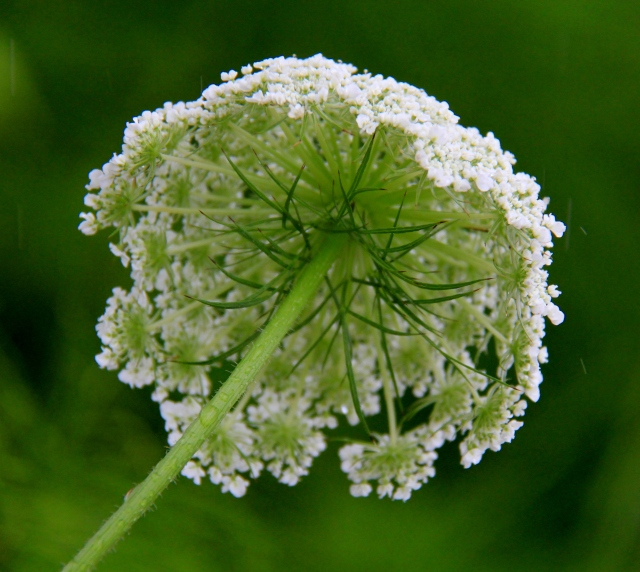 Mathematics of the Dome... as shown by Queen Anne's Lace - a weed.