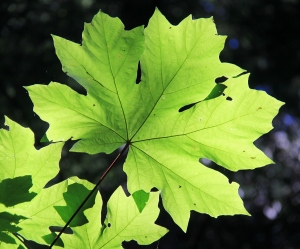 Perfect Big Leaf Maple - high overhead and illuminated by the sun!