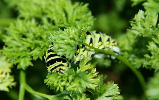 Amongst the Parsley - A Black Swallowtail caterpillar!