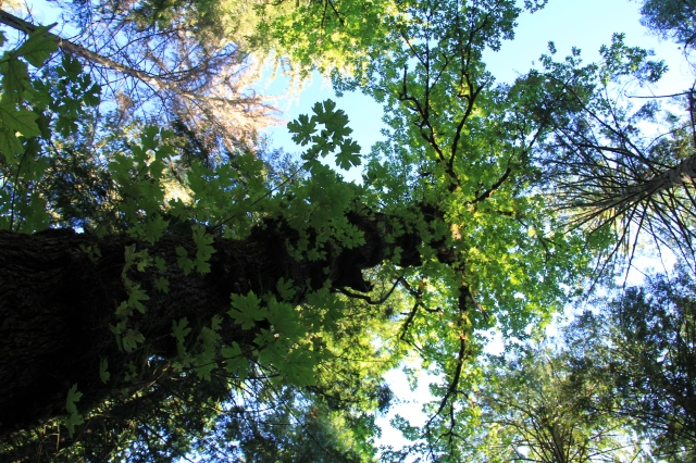 Looking up the sides of a Big Leaf Maple - all the new growth just popping out of the trunk itself!  Life is persistent!