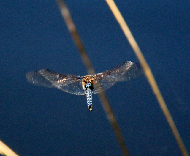 Hovering over the water - waiting? - watching? Motionless except for the wings - beautiful!