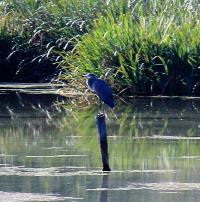 Heron at rest - waiting for breakfast to swim by!
