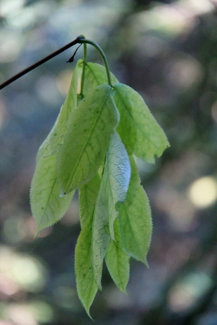 Indian Plum leaves fading and falling away with the end of Summer.