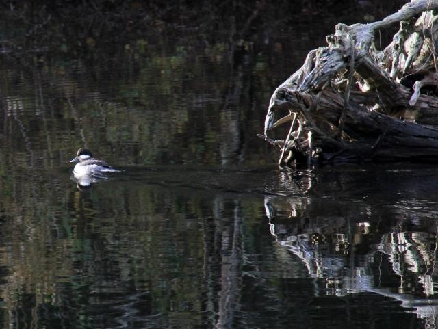 Female Bufflehead duck.