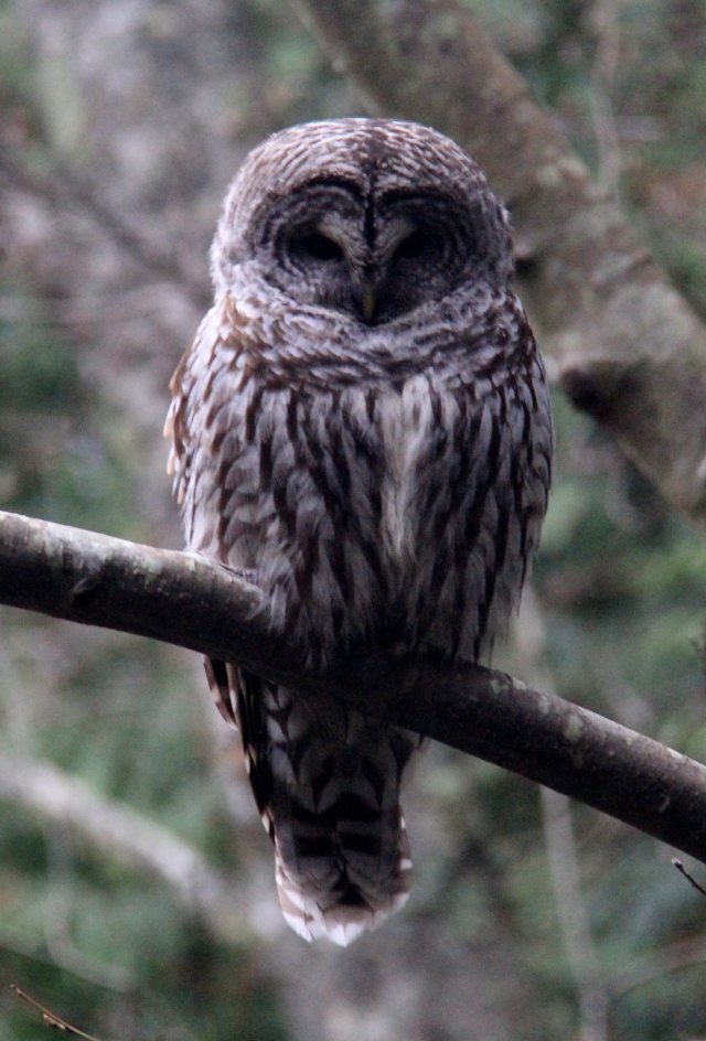 A beautiful Great Barred Owl.