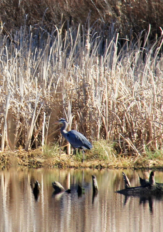 A Great Blue Heron across Richards Marsh.