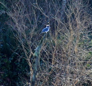 Belted Kingfisher from across the Marsh - messy crest and blue bands - the blue is so brilliant in the sun.