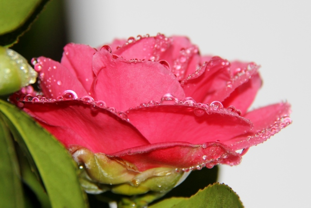 Gloriously bedazzled Camellia.  Crystalline raindrops festooning every petal!