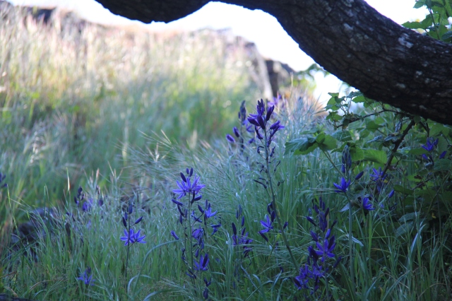 Gorgeous Camas Lilies under the Oaks