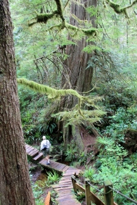 "Looking down the sloping boardwalk to a ""small"" tree.  There is a small stream that runs under the roots of this tree."