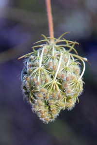 Queen Anne's Lace Seed Pod