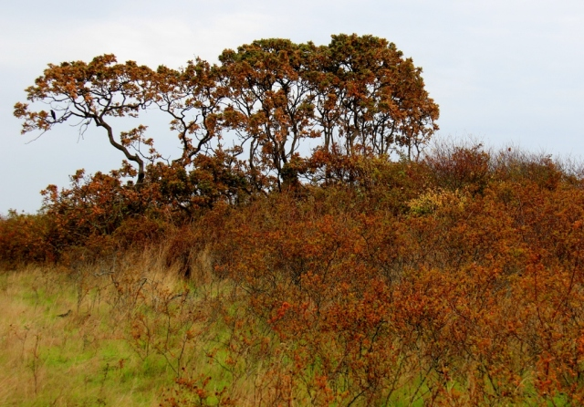 Garry Oaks and Wild Roses turning to colours of Fall