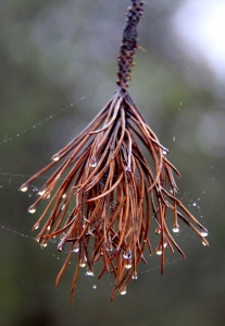 Natures Furbelow - a pine needle tassel decorated with beads of rain.