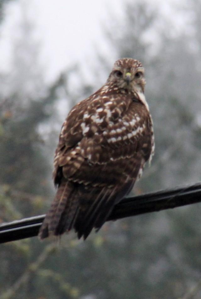 Sharp Shinned Hawk.