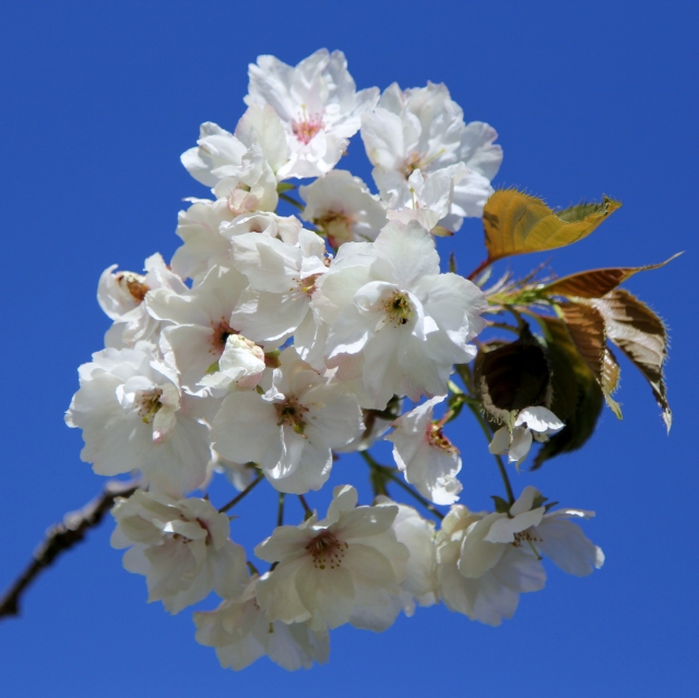 Low hanging ornamental plum blossoms. Beautiful against the blue sky.