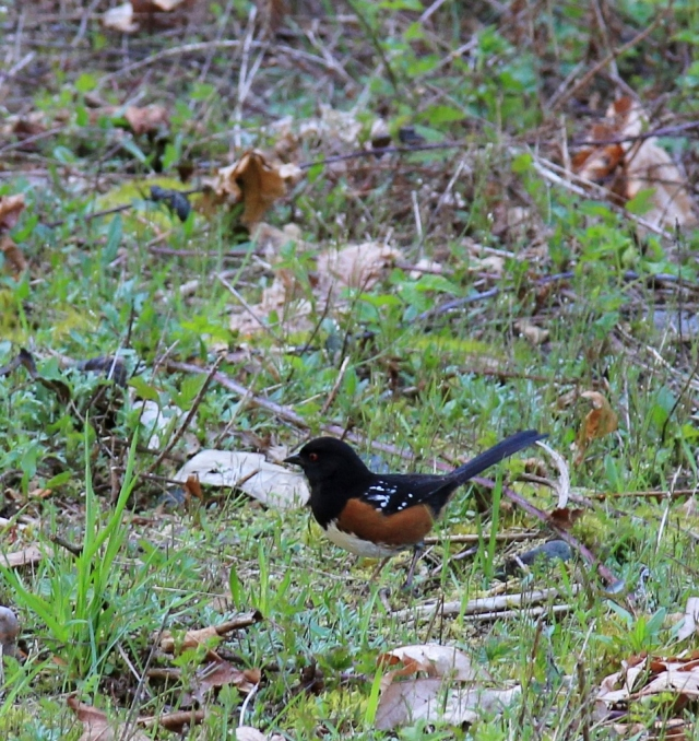 A Spotted Towhee, entertainment while walking in the woods.